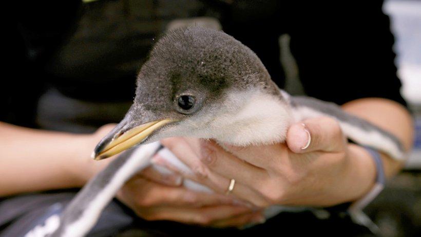 Schwule Pinguine brüten in Sydney ihr zweites Ei aus